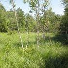 Rare gray birch trees