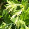 Virginia marbleseed